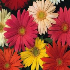 Gerbera jamesonii Hybrids Mix 1g - 10g